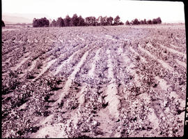 """Nelspruit district, 1926. Field of green peas."""