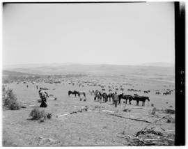 Transkei, 5 March 1947. Horses in the field.