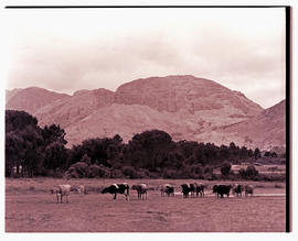 Paarl district, 1939. Cattle.