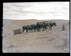 Transkei, 1932. Sled drawn by oxen.