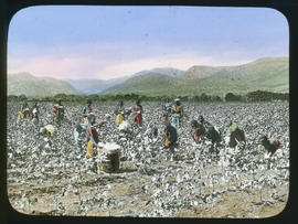 Harvesting in a cotton field.