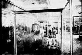 Durban. Two stuffed lions exhibited in museum glass cage.