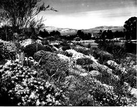 Caledon, 1950. Wildflower garden.