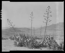 Transkei, 1954. Stand of aloes with kraal in the distance.
