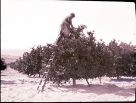 """Nelspruit district, 1926. Orange picking."""