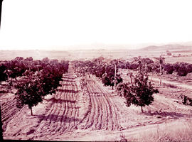 """Nelspruit district, 1926. Citrus and pawpaws."""