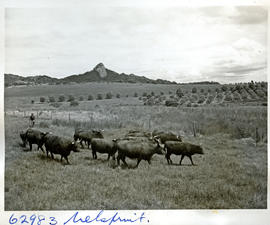 """Nelspruit district, 1954. Cattle."""