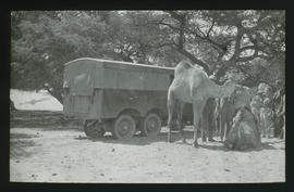 Trucks and camels in bushveld.