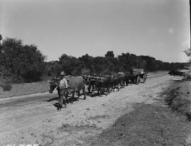 Port Elizabeth district, 1950. Ox wagon on road.